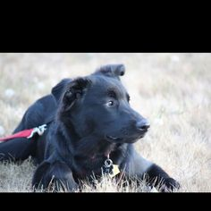 Best. Dog. Ever. Mochi: our Australian Shepherd and Lab mix :D