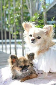 Longhaired Chihuahua puppy dogs