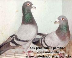 DEDETIZADORA TSERV : Saiba como acabar com os pombos.