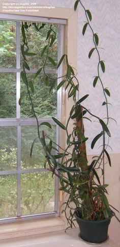 Vanilla comes from a vining orchid that you can grow as a house plant!! Harvest your own vanilla beans!!