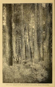 Illustration of the Forest around Tuscaloosa in 1887