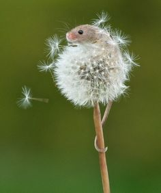 The Teeniest, Cutest Mouse Ever!  This too adorable harvest mouse is only about 2 inches long and hanging on to a dandelion puff.