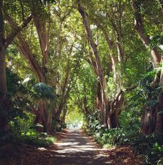 Oldest avenue of Morton Bay Figs in Australia. Planted over 100 years ago. Adelaide Botanic Gardens. Photo: Michael Lizut