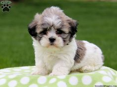 The cutest teddy bear shichon puppy!