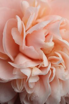 Positively gorgeous blush of pink, peachy Camellia