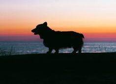 Summer Sunset with a Corgi...