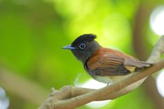 亚洲绶带 Asian Paradise Flycatcher (Terpsiphone paradisi), female. Photo: Roger Rao
