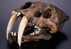 Sabertooth Cat Skull