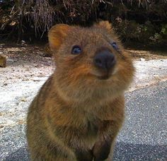 Meet the Quokka — the Happiest Animal Ever: Meet the most smiley animal on earth: the quokka.