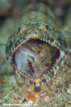 Lizardfish eating a juvenile grouper - Miri, Sarawak, Sea Aquarium, Deep Blue Sea, Beautiful Fish, Sea Fish, Photography Photos, Montessori, Underwater, This Is Us, Eat