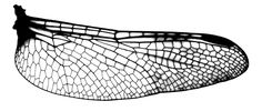 wing of a dragonfly…