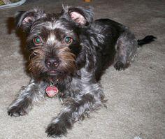 Boston Yorkie     Boston Terrier / Yorkshire Terrier Hybrid Dogs