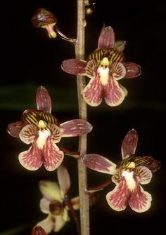 Orchid: Oeceoclades saundersiana