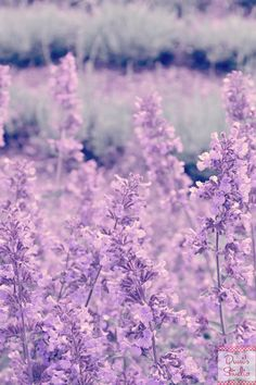Hey, I found this really awesome Etsy listing at https://www.etsy.com/listing/180373992/purple-lavender-field-of-lavender-dreamy