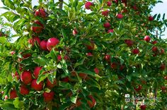 awesome Apfelplantage Königreich Numero 5,  #Landleben