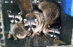Selling jackets and accessories made with fur and angora wool makes Backcountry.com complicit in animal abuse. Urge the online retailer to STOP now.