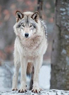 Grey Wolf-Alpha males do not exist. Grey wolves live with male, female and offspring. Wolf Images, Wolf Photos, Wolf Pictures, Beautiful Creatures, Animals Beautiful, Cute Animals, Wild Animals, Baby Animals, Wolf Spirit