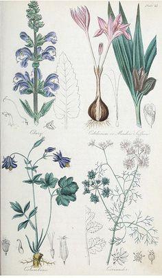 Clary (Salvia sclarea), Meadow Saffron (Colchicum autumnale ), Columbine (Aquilegia vulgaris), and Coriander (Coriandrum sativum). The British flora medica… (1838)
