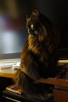 Norwegian forest cat.  Looks like my Little Cat