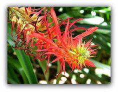 Pitcairnia flammea - Bromeliaceae, Margaret Mee, 1958 Jardim Botanico, São Paulo. Pitcairnia Flammea é uma espécie do gênero Pitcairnia . Esta espécie é nativa do Brasil . http://sergiozeiger.tumblr.com/post/97722646083/pitcairnia-flammea-bromeliaceae-margaret-mee Mostrar menos