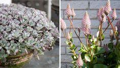 Hvad er smukkere til forår end blomstrende krukker på altanen og terrassen? De fleste planter fungerer i krukker, men nogle lever bedst udendørs og holder samtidig i mange år frem. Vi guider dig til fem af de bedste.