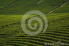 A view of wineyards in Barolo - Piedmont, Italy
