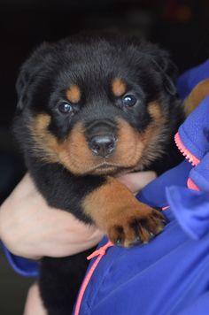 Baby Kane.   Rottweiler puppy