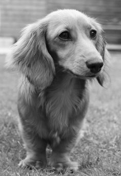 Rufus, a 7 month old Miniature Dachshund from the UK.