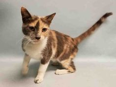 """ALEIDA - A1086807 - - Manhattan  ***TO BE DESTROYED 09/02/16*** AVERAGE RATED ALEIDA IS A PRETTY DILUTE CALICO WHO WAS TRAPPED IN A PARK BY SOMEONE WHO FED HER UNTIL SHE COULD LURE HER INTO THE TRAP!! And the excuse – she said she """"feels bad"""" when she sees a stray cat on the street so she has to trap it and dump in the ACC. LIAR. These people have nothing better to do than to trick poor cats who are hungry and minding their own business into a trap and bet"""