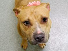 SAFE --- Manhattan Center   BELLSPROUT - A1018171 *** AVERAGE HOME ***  FEMALE, TAN / WHITE, PIT BULL MIX, 3 yrs STRAY - STRAY WAIT, NO HOLD Reason STRAY  Intake condition EXAM REQ Intake Date 10/20/2014, From NY 10466, DueOut Date 10/23/2014  https://www.facebook.com/photo.php?fbid=892354670777413 ++++++++VERY SWEET+++++++++