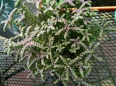 Sedum pulchellum