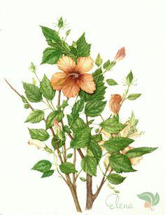 (37) Gallery.ru / Passiflora violacea - Акварели Milly Acharya - egord