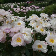 Beautiful Peony Varieties for Home and Garden