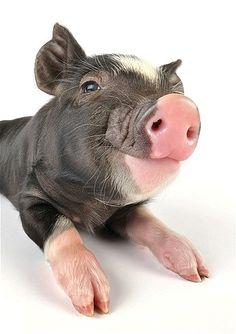 Happy little pig