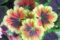 Od srpna lze muškáty množit řízkováním. Zakoření a přezimují   Zahrádkář Black Velvet, Plants, Gardening, Lawn And Garden, Plant, Planets, Horticulture