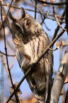 Long-eared owl by Katarina Paunovic photography