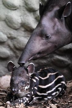 A Danta born in captivity twenty days, rests next to its mother at the Santa Fe Zoo, in Medellin, Antioquia Department, Colombia
