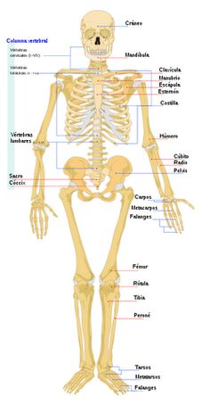 Human skeletal system - Human skeletal bones - and skeletal system functions Human Skeleton Bones, Bones Human, Human Skeleton Anatomy, Skeletal And Muscular System, Biology For Kids, Human Body Facts, Musculoskeletal System, Human Body Systems, Human Anatomy And Physiology
