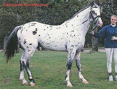 Colorado Skrødstrup- Knabstrupper stallion