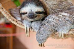 Happy International Sloth Day 20th 0ct.