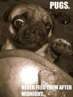 This is our Pug Rambo, on a mission for pot roast LOL! @ariellawson PUGS.jpg picture by airhole31 #pugs