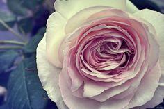 """""""La vie est une rose dont chaque pétale est une illusion et chaque épine une réalité."""" #AlfredDeMusset"""