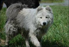 samoyed dog photo | Grey Samoyed? - Chazhound Dog Forum