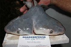 bull shark with two heads