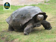 Tortuga Galápagos. Es la Tortuga terrestre más grande del mundo, pesa más de 400 kg. Puede vivir más de 150 años. La forma del caparazón y el tamaño del cuello depende de la isla que habite. Vive en las cosas de las Islas Galápagos. Se alimenta de hojas, cactus, bromelias, frutas y vegetación diversa. ¿Sabías qué? Galápagos pueden sobrevivir sin comer durante meses.
