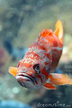 Photo about Big colorful fish swimming under water. Ocean Aquarium, Freshwater Aquarium Fish, Fish Aquariums, Colorful Fish, Tropical Fish, Oscar Fish, Cichlid Fish, Beautiful Sea Creatures, Fish Breeding