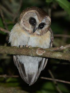 Unspotted Saw-whet Owl (Aegolius ridgwayi) - Picture 2 in Aegolius: ridgwayi - Location: San Christobal, Chiapas, Mexico. February 2013. Photo by Alan Van Norman.
