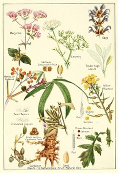 Plate showing various herbs and spices: majoram, caraway, sage, casava, mustard, cardamom, tapioca with flowers and leaves.  Taken from 'Spices, their nature and growth, the vanilla bean, a talk on tea' (1915)  McCormick and company.  Wikimedia.
