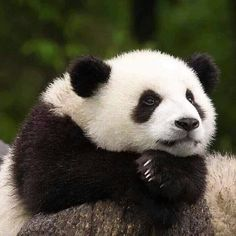 Pijon, tell me again about the two sweet, generous, thoughtful, and cute pandas… Niedlicher Panda, Cute Panda, Kung Fu Panda, Big Panda, Cute Baby Animals, Animals And Pets, Funny Animals, Beautiful Creatures, Animals Beautiful