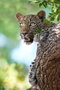 magicalnaturetour:  Leopard Eyes by Rudi Hulshof on 500px.com